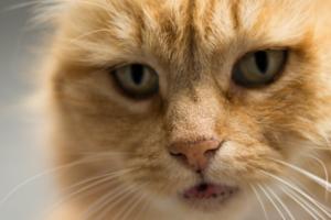 Чем могут быть черные точки в шерсти у кошки?