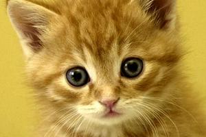 черные точки в шерсти у котика