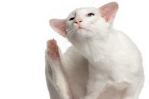 кошка чешет шею до болячек