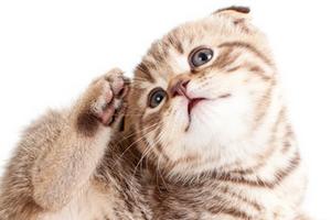 кошка расчесывает шею