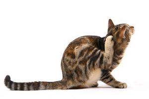 кошка сильно расчесывает уши