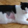 Появилось лысое пятно у кошки — что это может значить?
