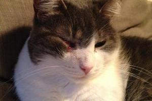 опухла щека гноится глаз у кошки
