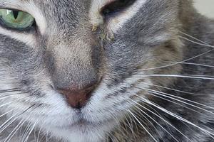 сильно опухла щека у кошки