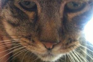 у кошки опухла щека и болит