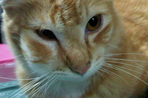 у кошки опухла щека