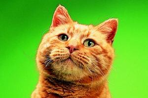 у кошки появилась опухоль под глазом