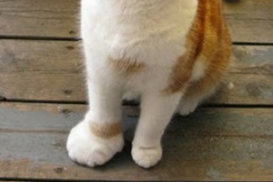 у кошки сильно опухла лапа