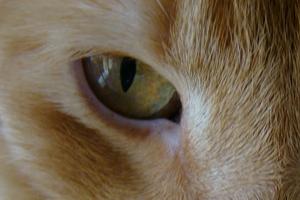 у кота опухоль под глазом