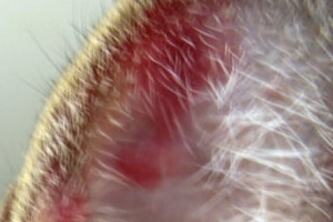 в ушах красные пятна у кошки