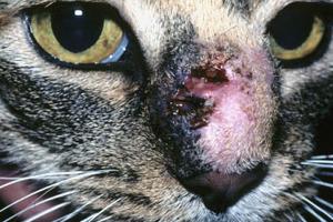 большая шишка у кошки на носу