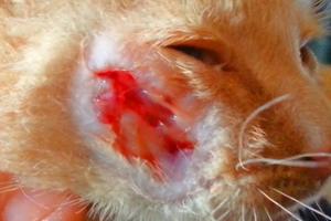 болячка на морде у кошки