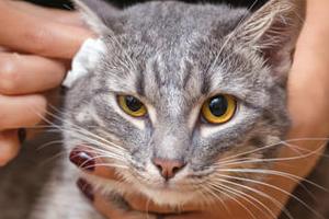 хлюпает в ушах у кота
