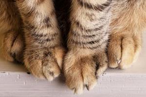 кошка хромает на переднюю лапку