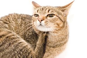 кошка расчесывает кожу до болячек