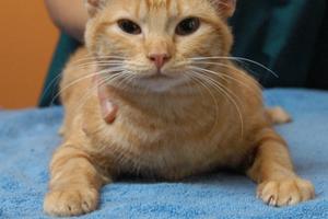 кот хромает на задние лапы