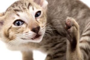 кот расчесывает кожу до болячек