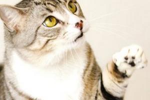 котик хромает на переднюю лапу