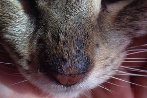 на носу у кошки корки