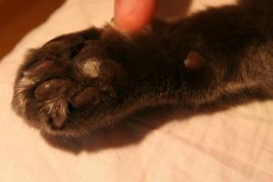 Из-за чего у кошек на лапах появляются наросты?