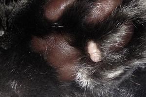 наросты на лапах у кошки