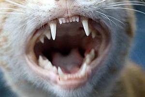 откололся клык у кошки