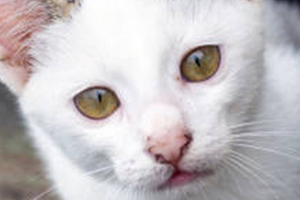 появился прыщ у кошки за ухом