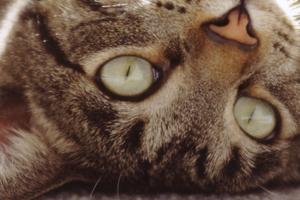 прыщ у кота за ухом