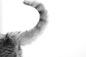 Нужно ли удалять шишку на хвосте у кошки?