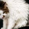 У кошки дергается голова — повод ли это, чтобы обратиться к специалисту?