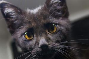 Как помочь кошке, если у нее гноится глаз?
