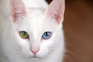 У кошки красные уши — признак болезни или естественное состояние?