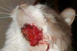 у кошки кровавая ранка на шее