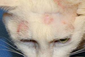 у кошки лишай на морде