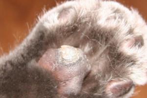 Нужно ли что-то делать, если у кошки облазят подушечки лап?