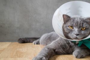 Из-за чего у кошек появляются ранки на шее?