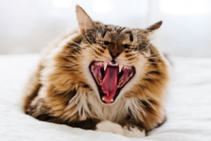У кошки шатаются зубы — как сохранить здоровую челюсть питомцу?