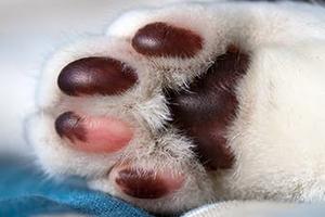 у кошки сильно облазят подушечки лап