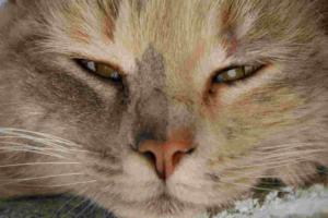 Могут ли у кошек слезиться глаза без причины?