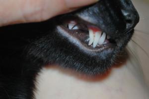У кошки сломался клык — как быть в такой ситуации?