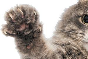 у кошки выпали когти
