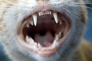 у кота шатаются зубы