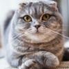 Возможно, чтобы у вислоухого кота выпрямились уши?