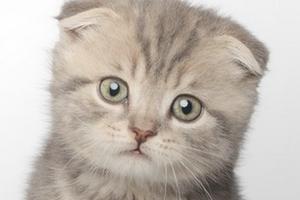 у вислоухого котенка выпрямились уши