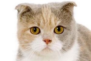 у вислоухого котика выпрямились уши