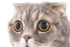 у вислоухой кошки выпрямились уши