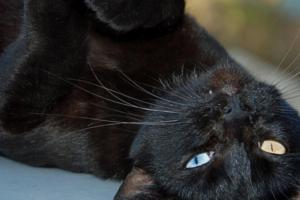 Закисание глаз у кошек – что провоцирует появление симптома?