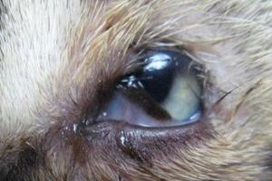 закисание глаз у кота