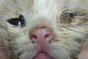 закисание глаз у котенка