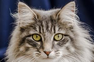 кровь в ухе у кота